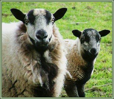 mouton face de blaireau