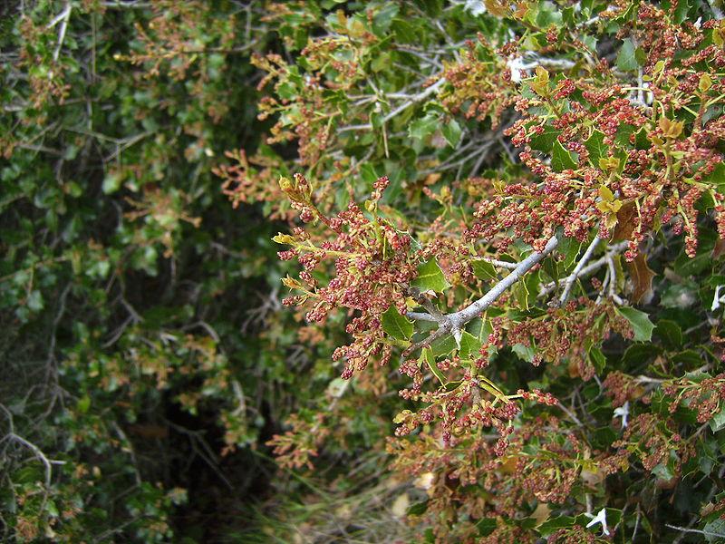 Avaus ch ne kerm s etymologie occitane - Maladie du chene vert arbre ...
