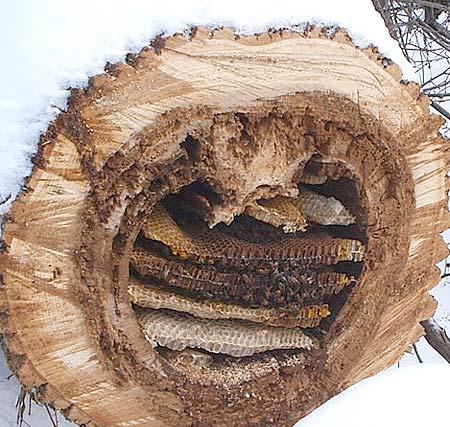 ruche naturelle dans un tronc d'abre