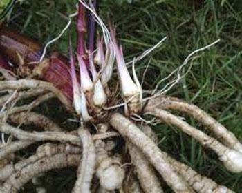 racines de chervis