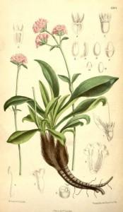 Des vertus des plantes par Macer Floridus, 1832 Nard-indien-174x300