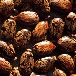 Ricinus_communis Seeds