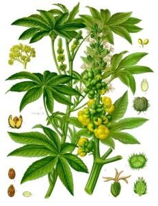Ricinus_communis_-_Köhler–s_Medizinal-Pflanzen-257