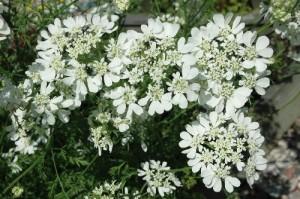Orlaya-grandiflora-Bridesmaid-a