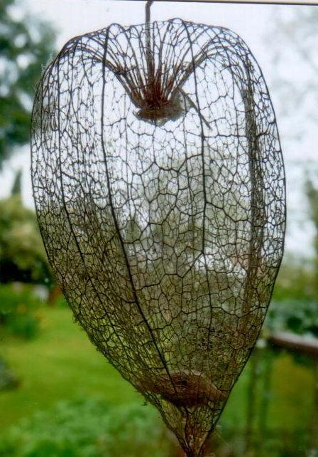 C etymologie occitane - Amour en cage plante ...
