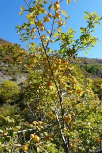 Prunus brigantina