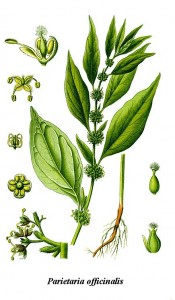 Parietaria_officinalis