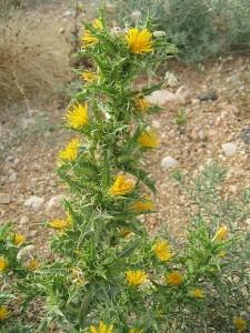Scolymus_hispanicus cardousses